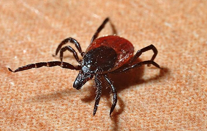 1% исследованных в этом сезоне в Иркутской области клещей заражены вирусом клещевого энцефалита